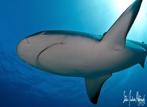 Reef Shark in my face and through the sun!!!! This image ... by Steven Anderson 